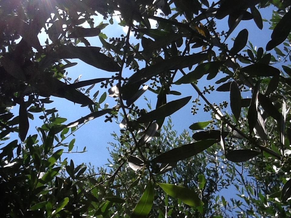 Il 95 per cento delle varietà di olivo mondiali resta inutilizzato