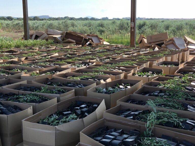 Storia e innovazione nella filiera olivicolo-olearia. Una Summer School a Bitonto