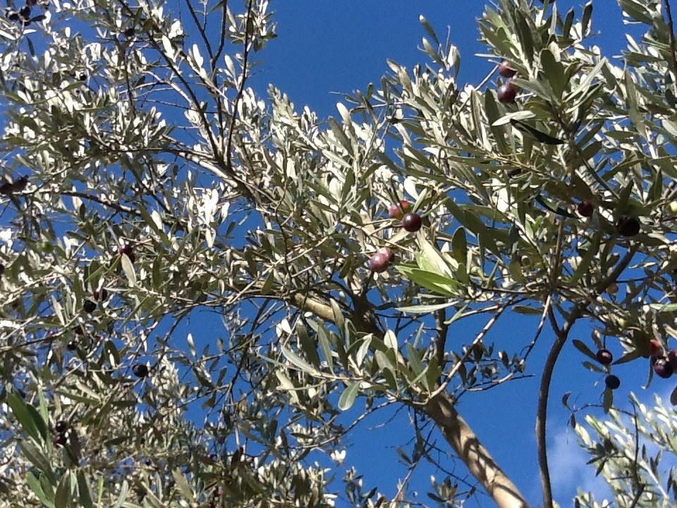 La nuova vita degli oliveti abbandonati in Toscana