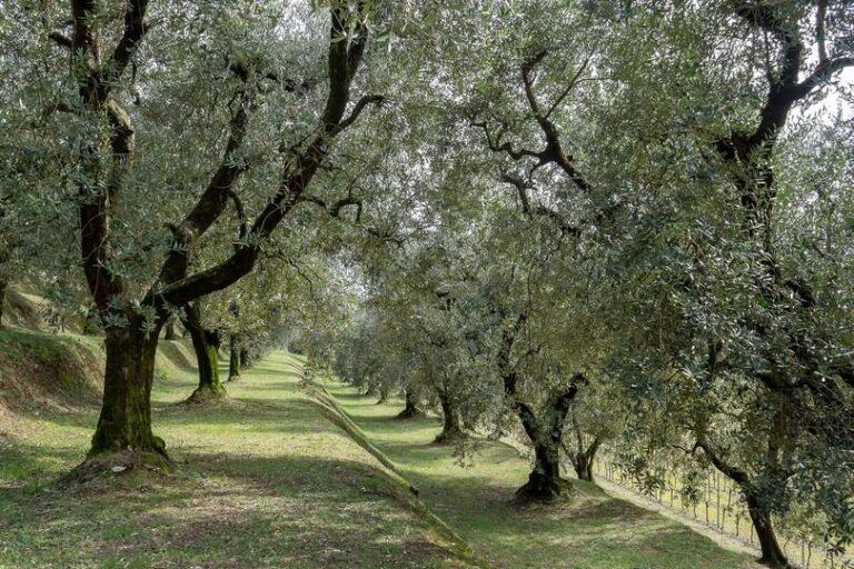 Si cercano giovani per il progetto Innolitec del Crea sull'innovazione della filiera olio da olive