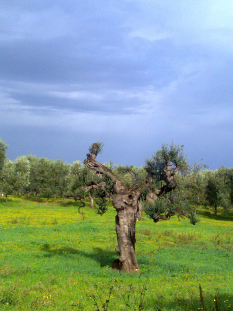 Il dialogo di mio padre con gli ulivi