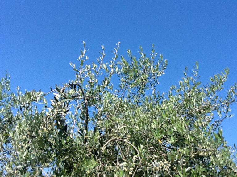 Con i residui di potatura degli olivi si può creare valore
