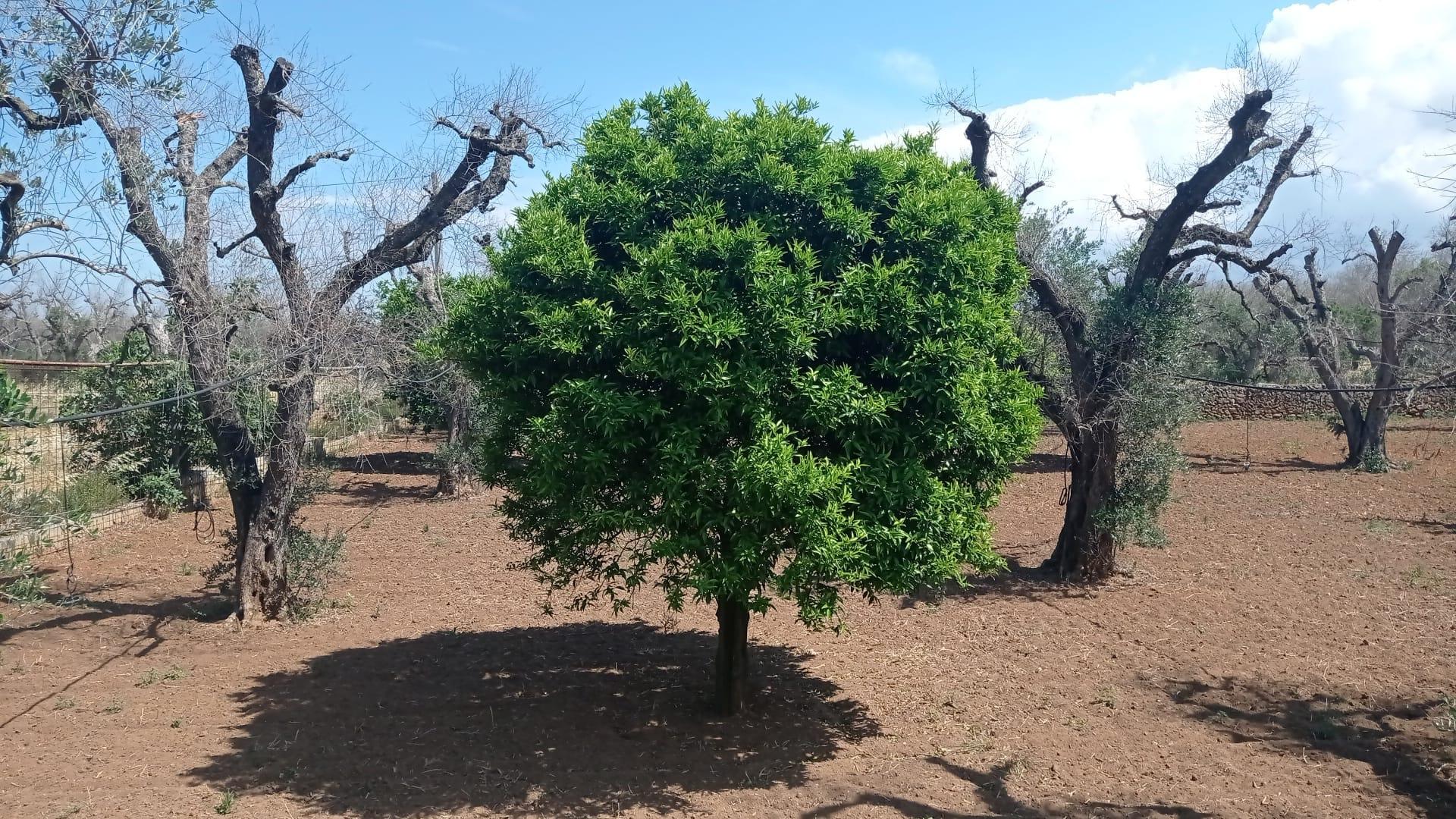 Cosa è accaduto in agosto in Puglia nei luoghi del batterio degli ulivi