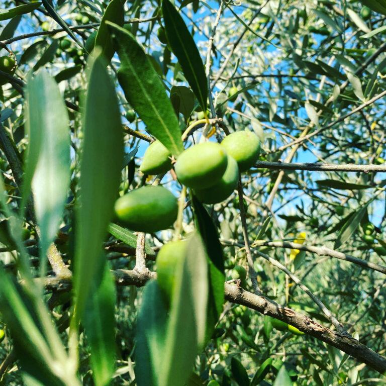 Cresce l'attenzione sulle olive da tavola. Tutti i dettagli sui metodi di trasformazione