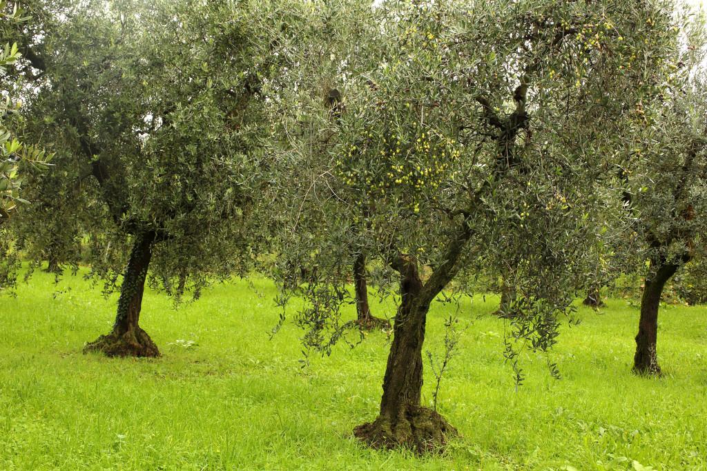 Le previsioni di Confagricoltura per l'olivagione 2021