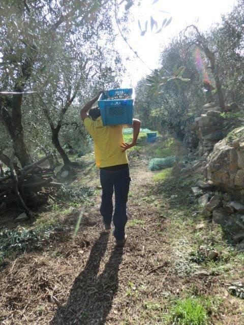 Il sostegno agli olivicoltori