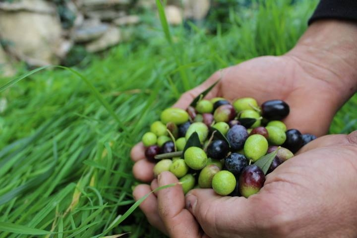 Esiste un turismo esperienziale. L'olivicoltura ligure ne è pienamente coinvolta