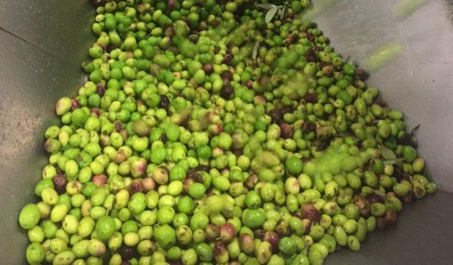 Quando maturano le olive