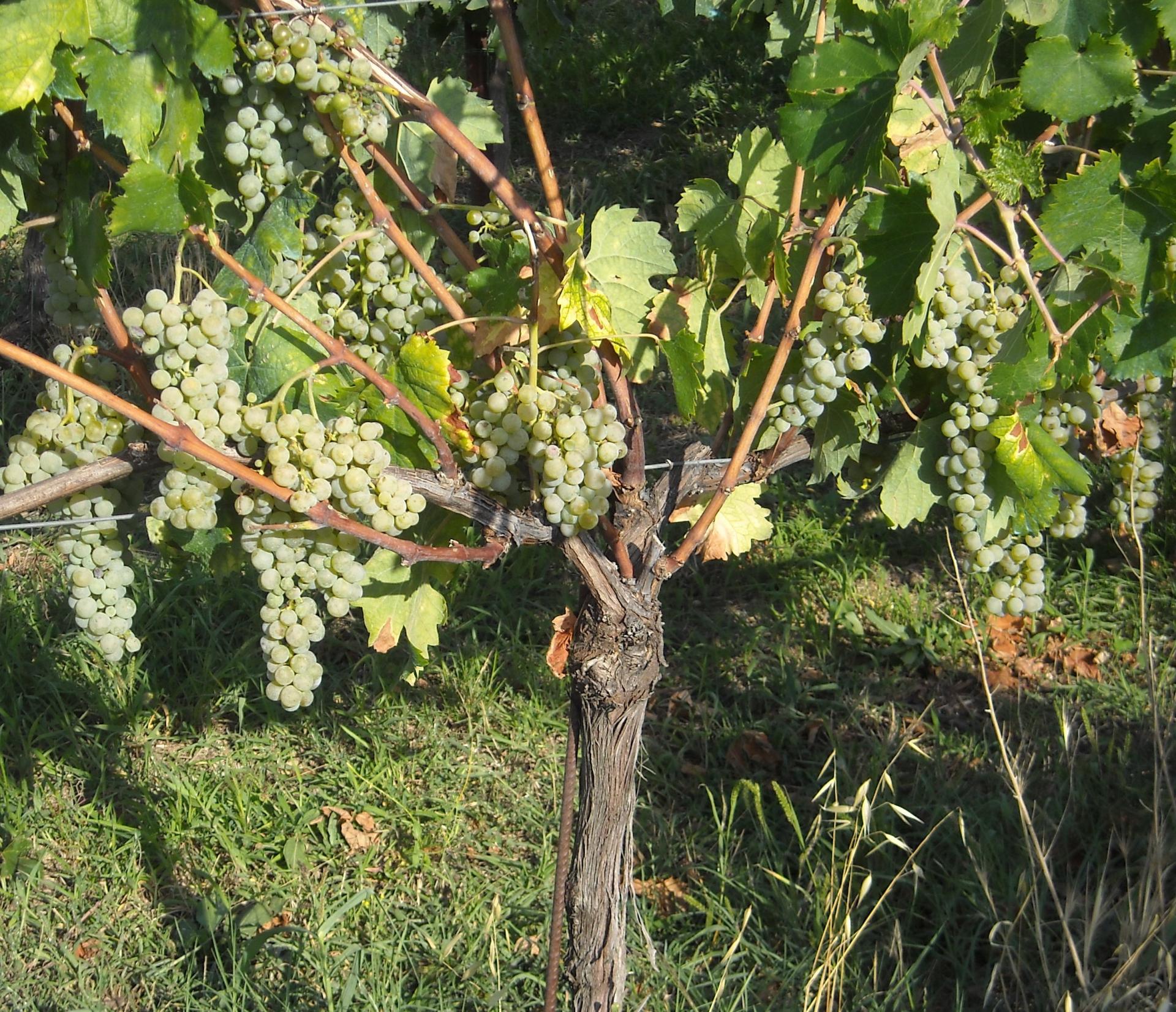 Il Sagrantino, un vino di successo