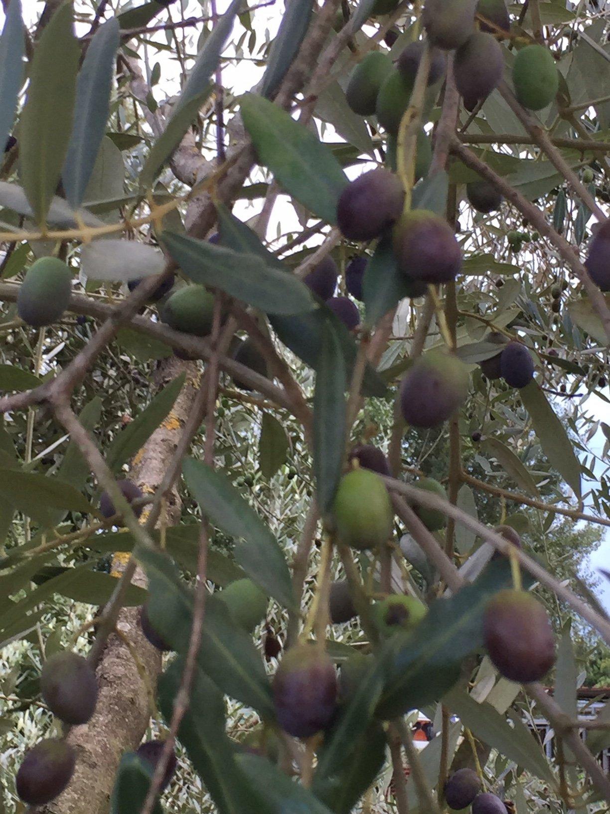 Focus sull'olio a Castelmuzio Borgo Salotto, tra pratiche agronomiche e marketing
