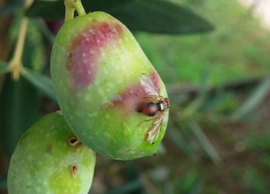 Quel che serve sapere per contrastare la mosca delle olive