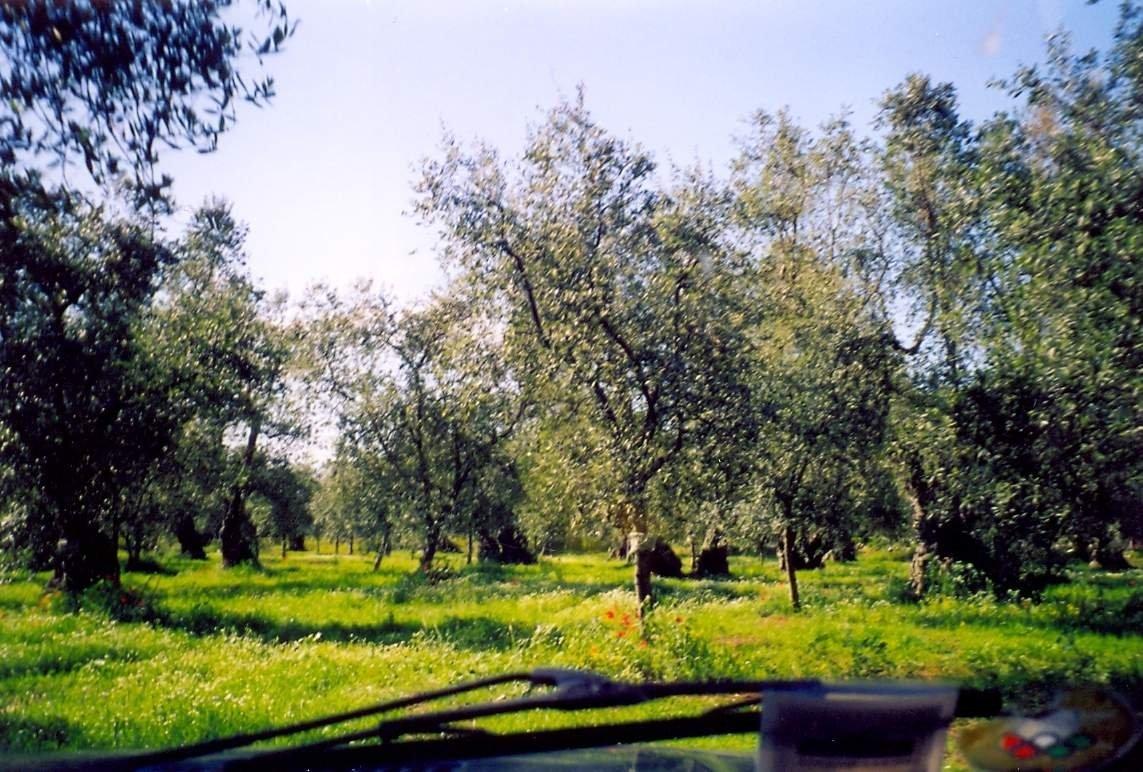 Si chiama rigenerazione olivicola ed è il progetto per far ripartire la Puglia. Istituito il Comitato di sorveglianza