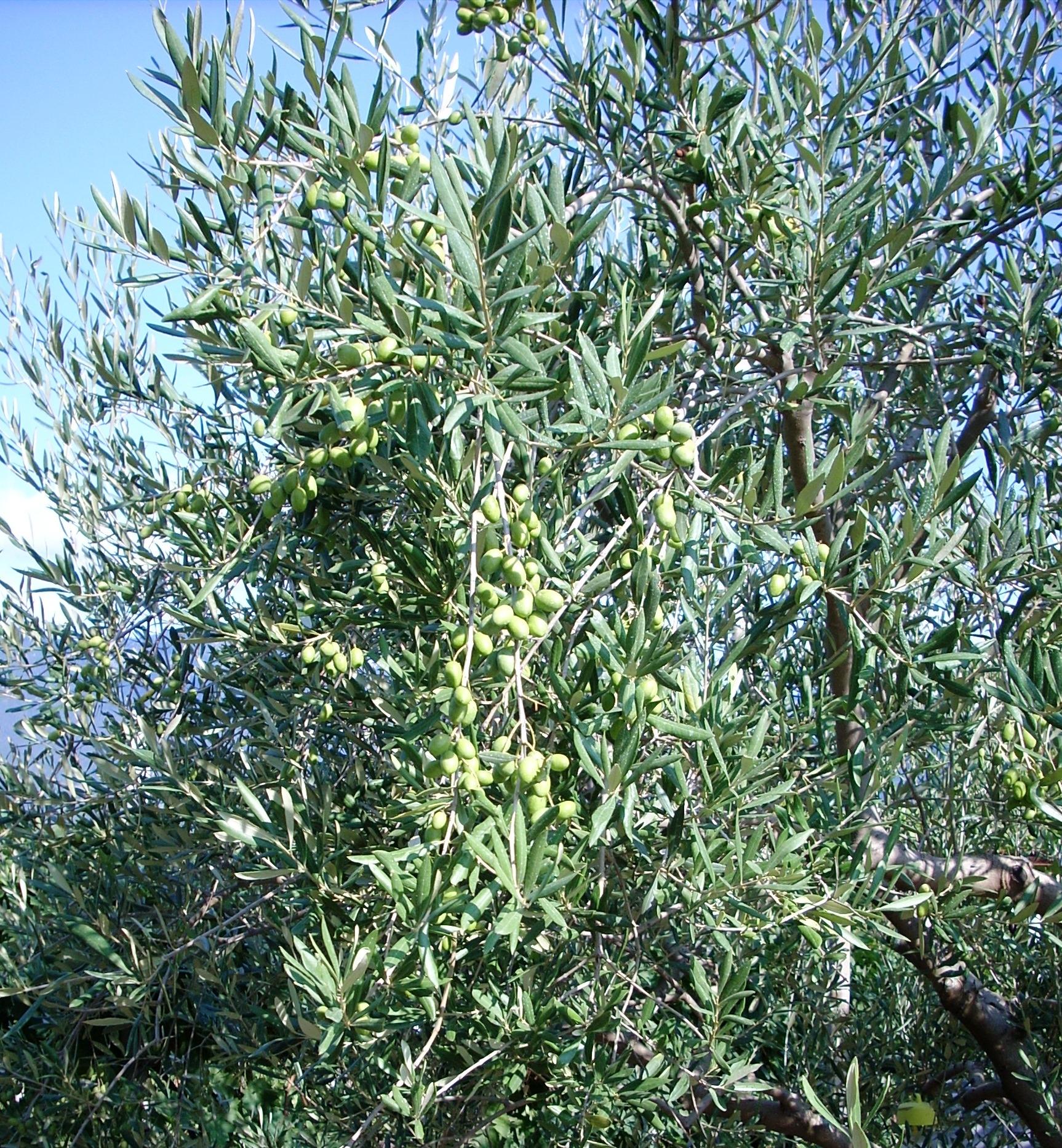 La cascola verde dell'olivo