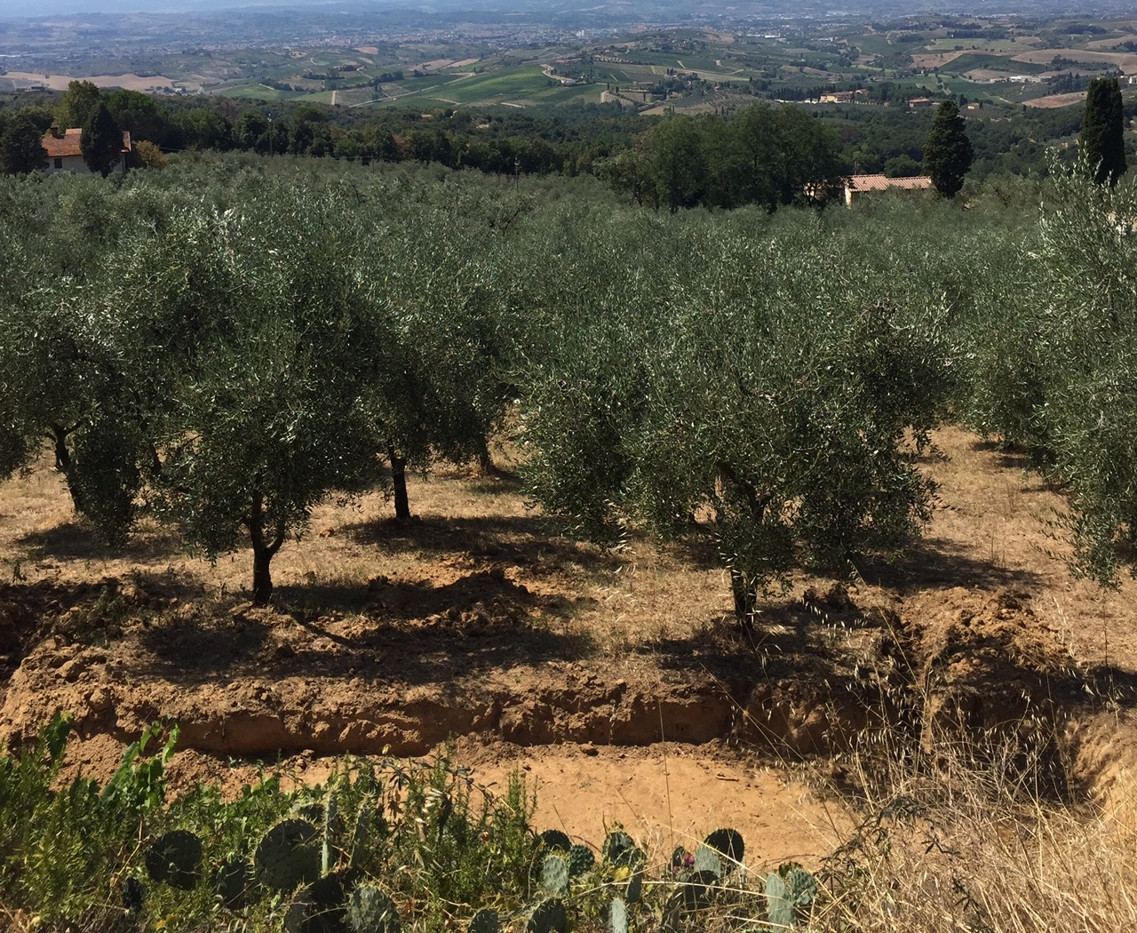 Cresce l'interesse per gli olivi