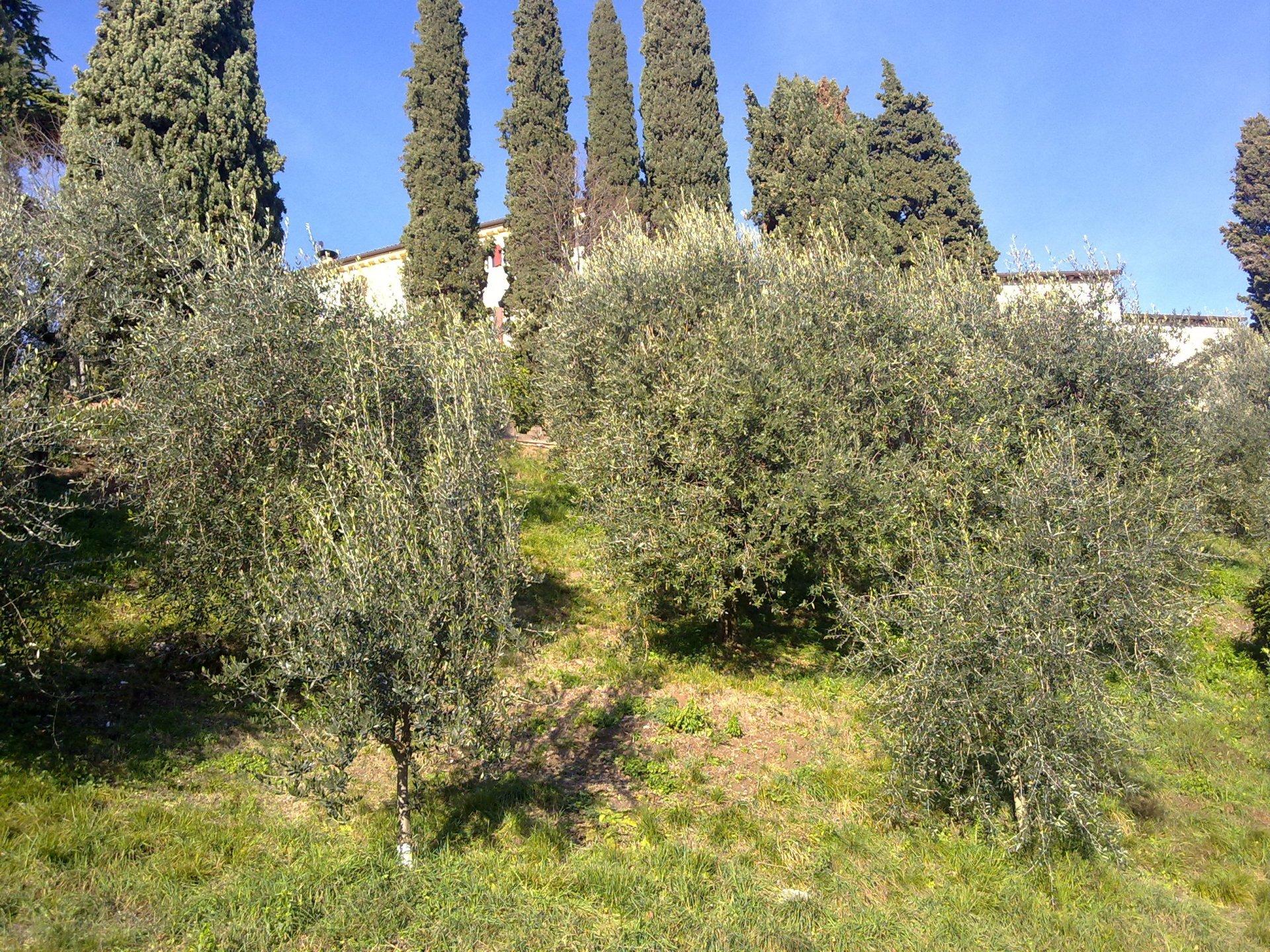 Ad Asolo, incontro sulla cascola verde delle olive