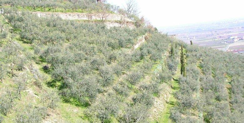 L'olivagione 2017 in Piemonte