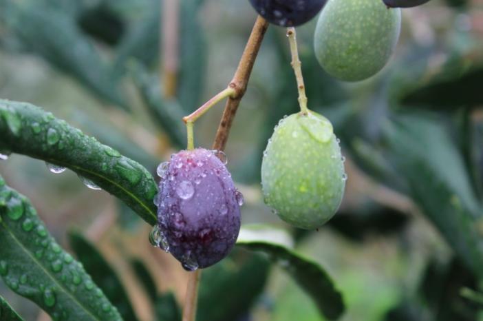 Il DNA dell'oliva Taggiasca