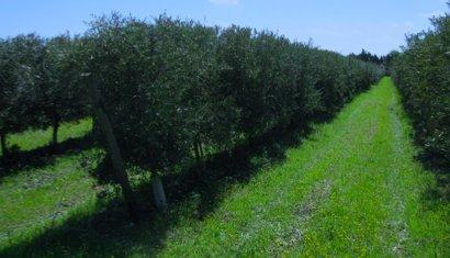 Tutto pronto per la XII edizione della Giornata dimostrativa di raccolta in continuo delle olive