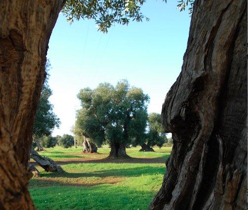 Una nuova olivicoltura