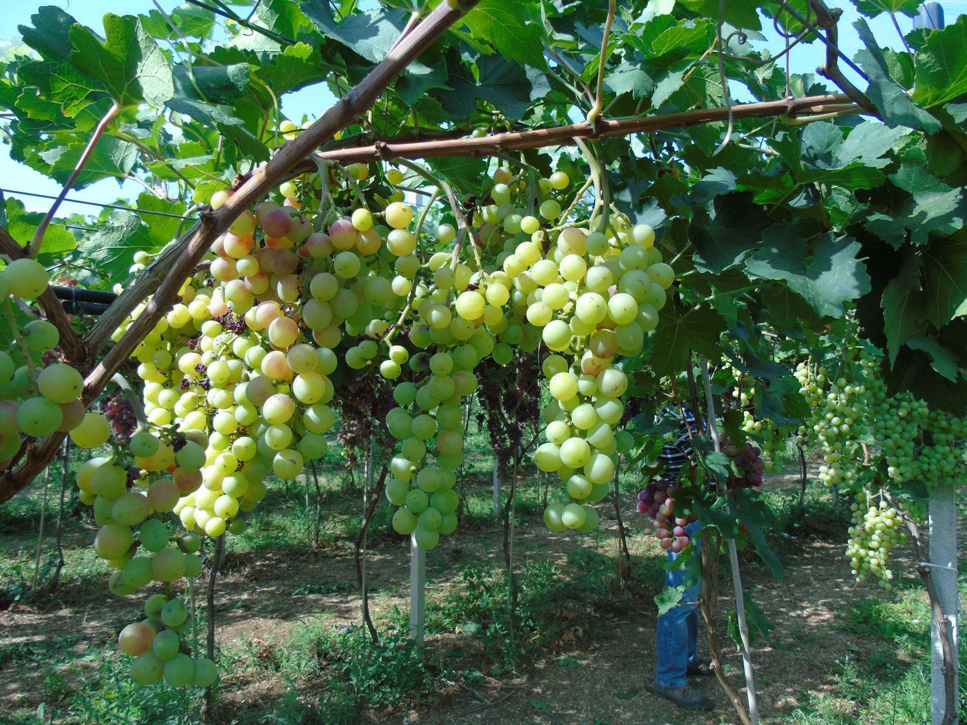 L'uva che non diventa vino