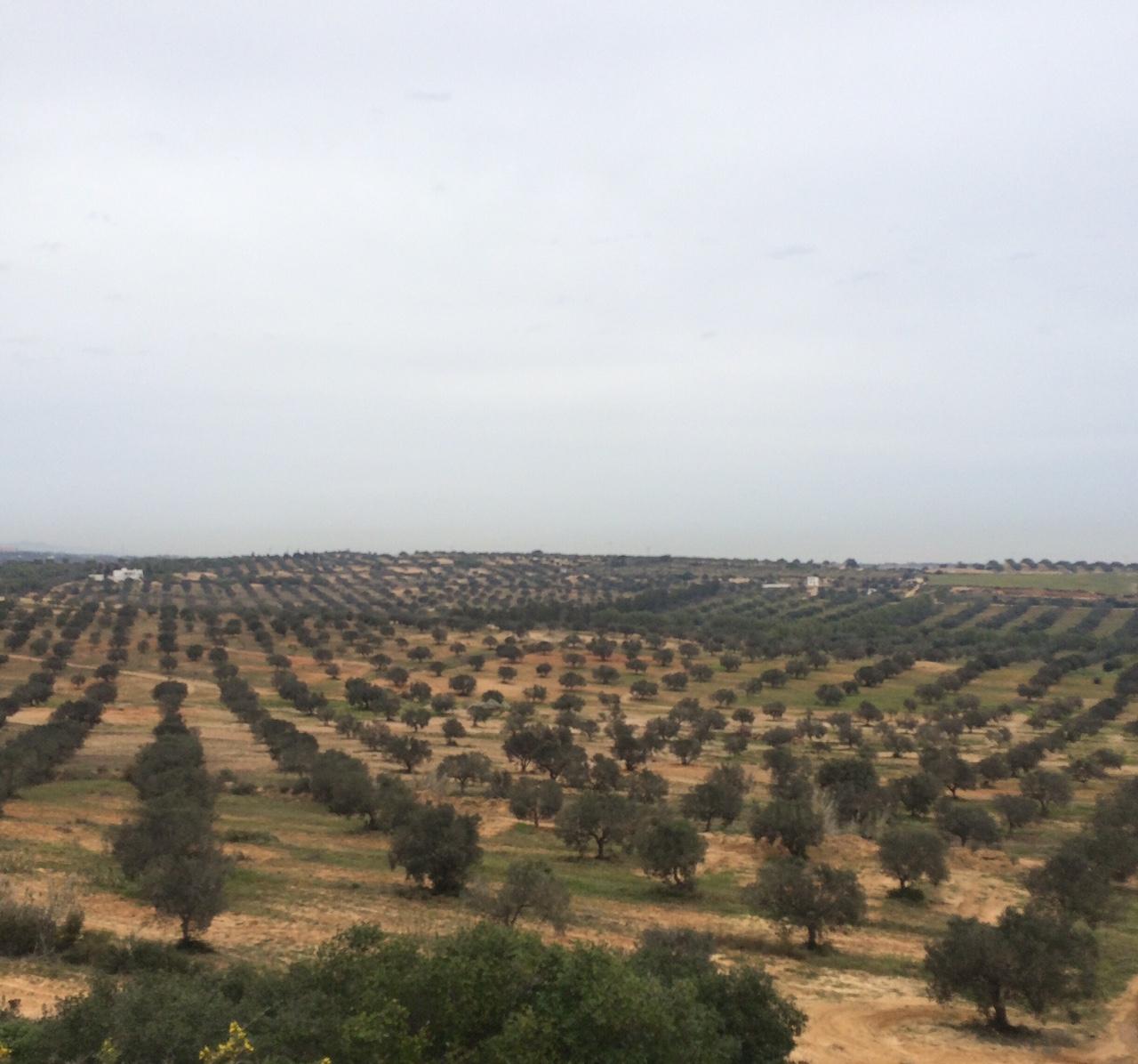 La Tunisia olearia c'è
