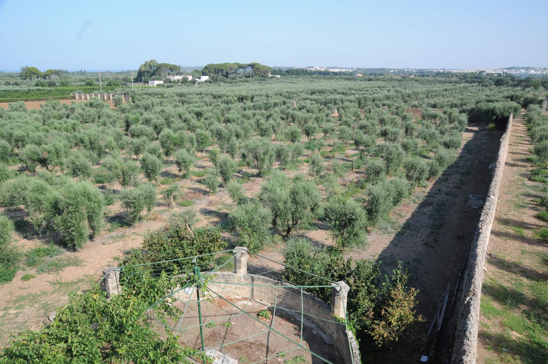 Breve storia dell'olivicoltura