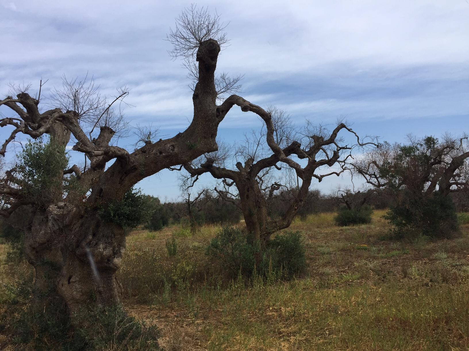 Xylella e olivo, quale futuro