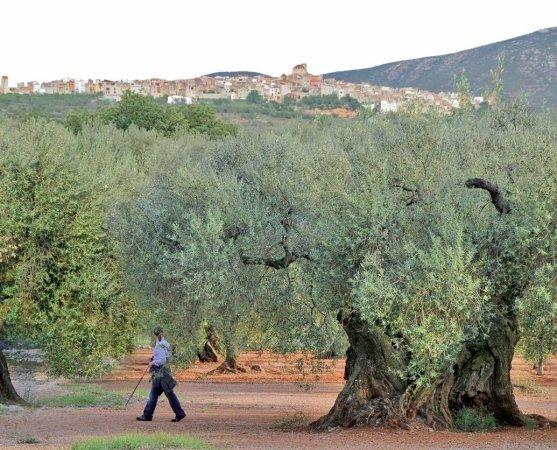 Il Paese degli ulivi millenari
