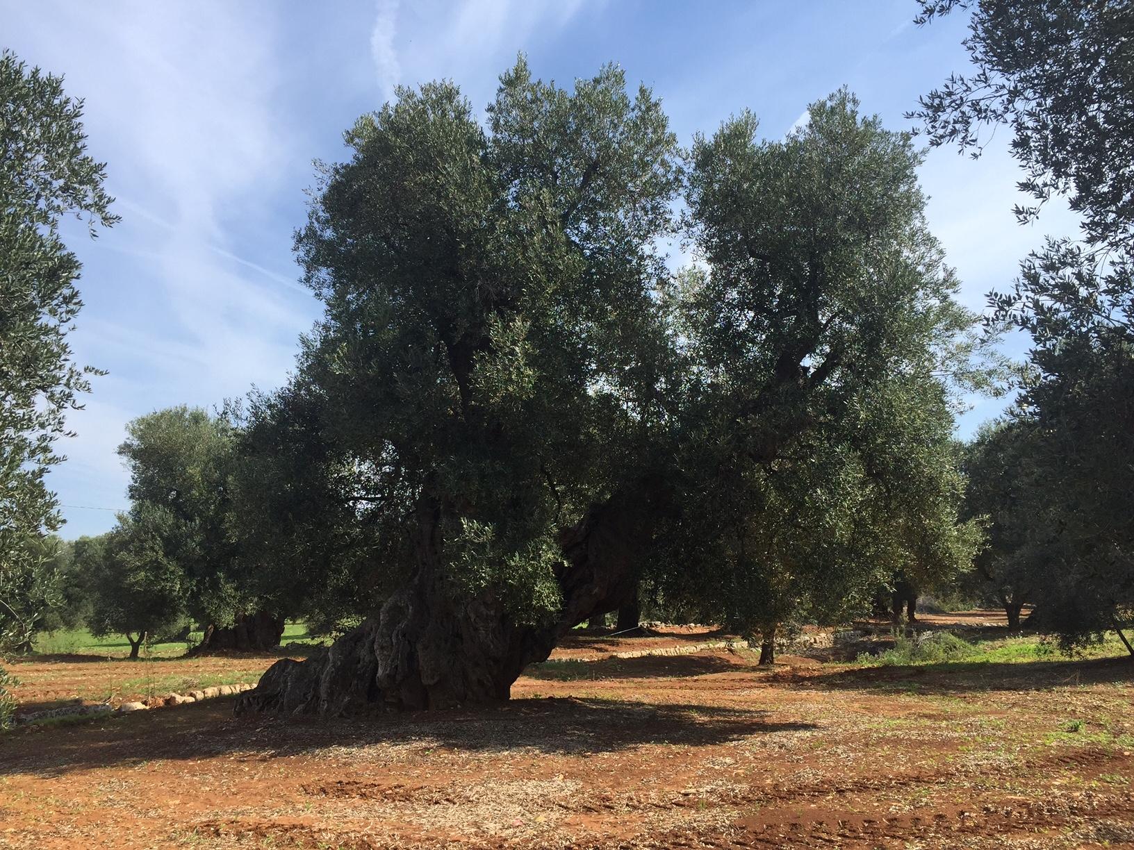 L'olivicoltura bio c'è