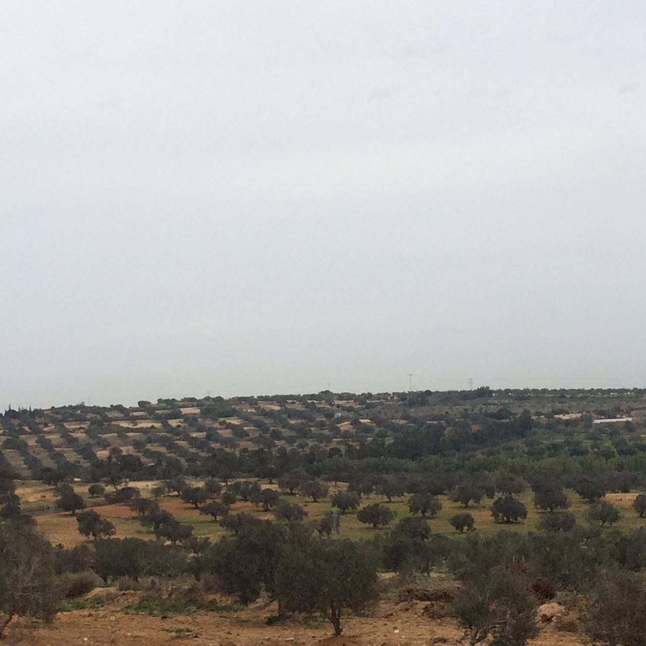 Ecco l'olivicoltura tunisina