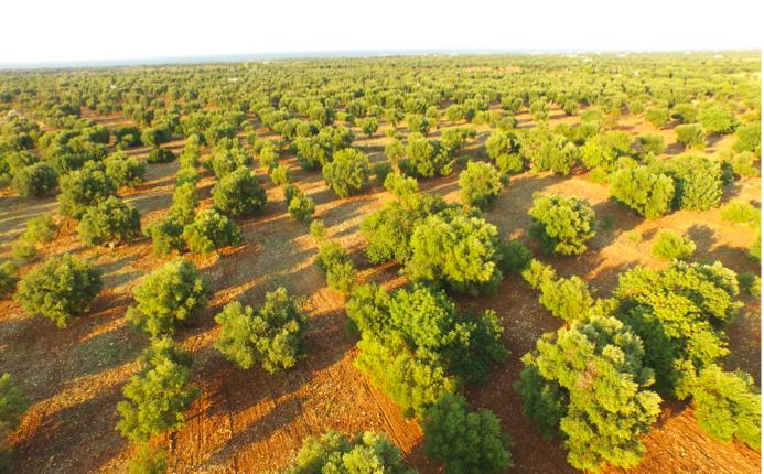 Dare voce agli olivi