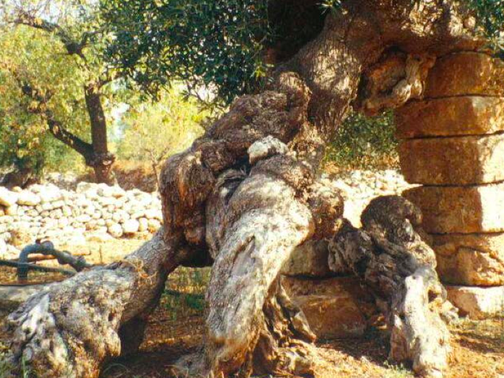 L'olivicoltura conviene?