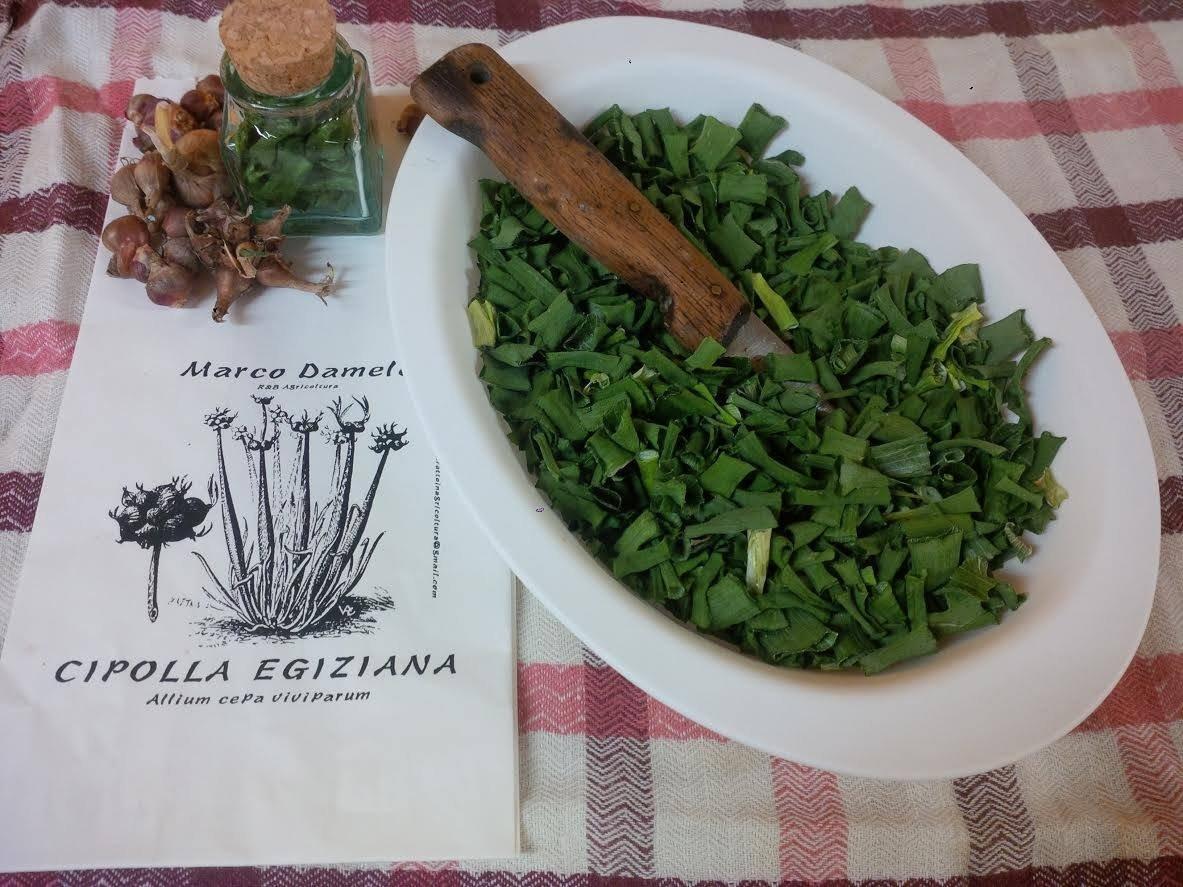 Allium cepa viviparum