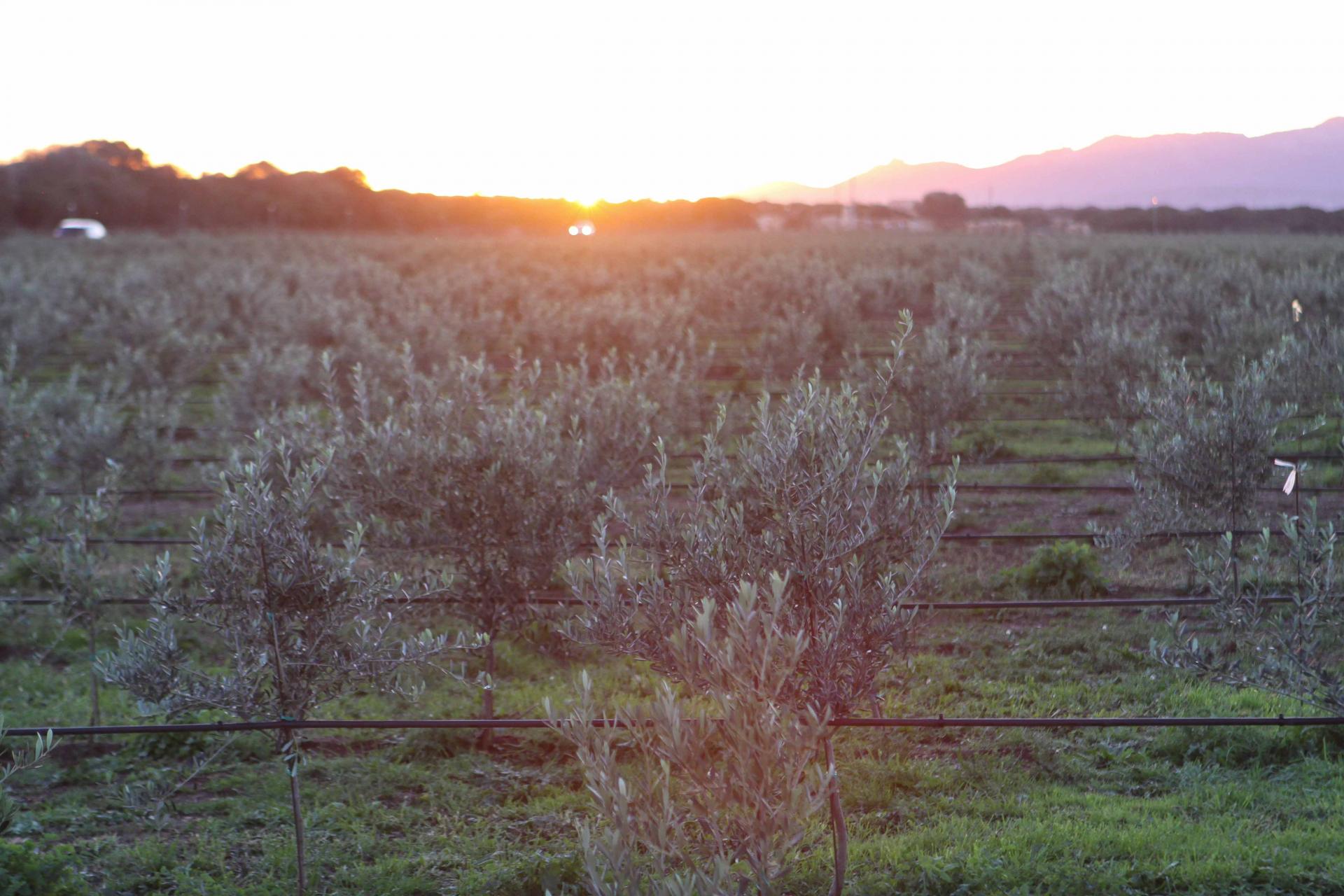 Senza olivi non c'è futuro