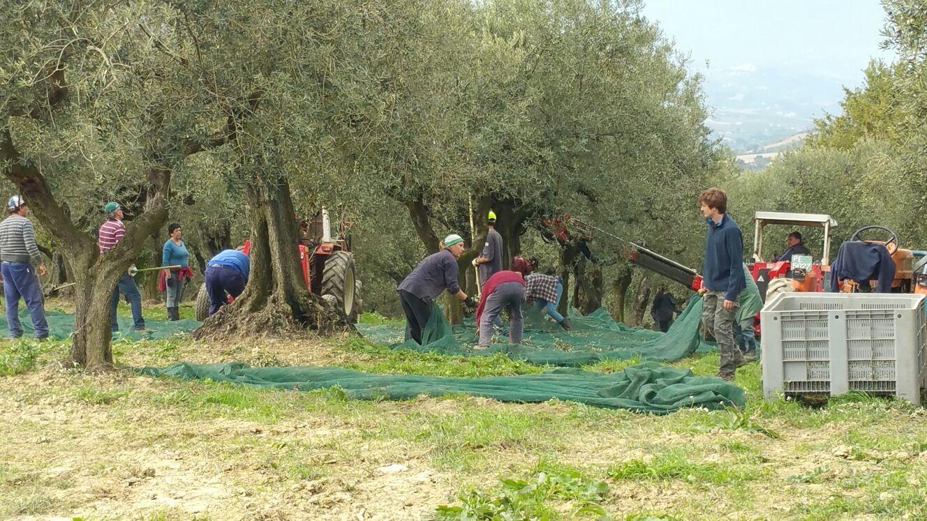 Le olive dei Santi