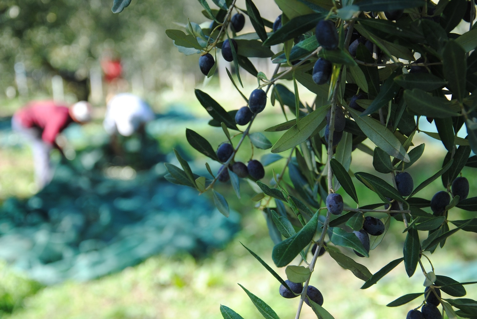 Scene di raccolta dall'Abruzzo