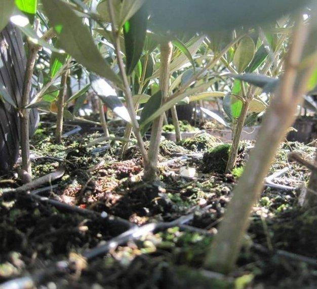 Tendenze evolutive dell'olivicoltura