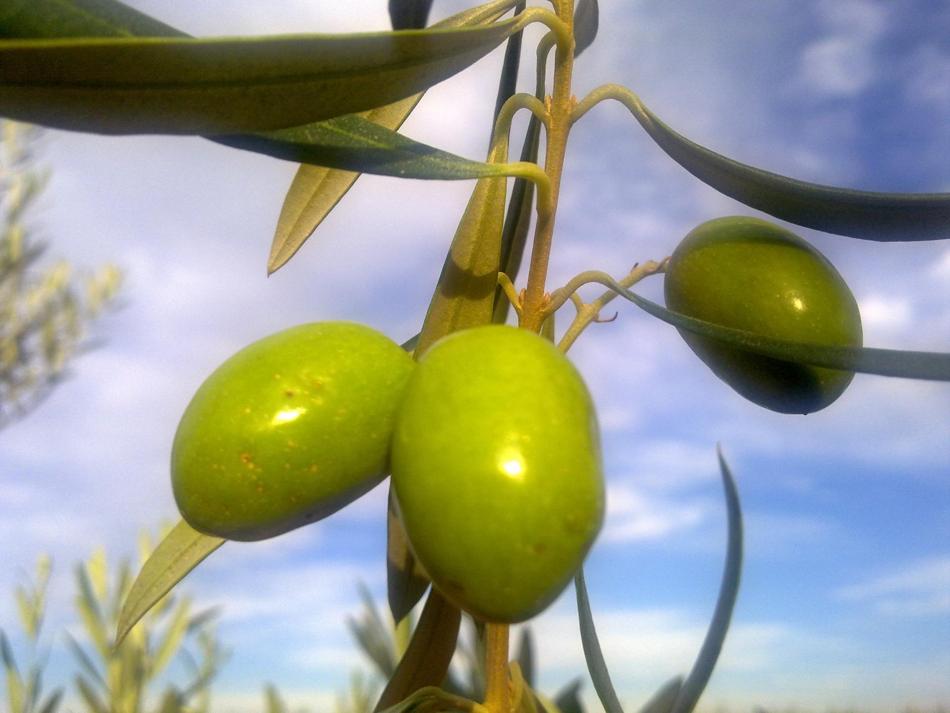 Piano olivicolo, ecco i 32 milioni