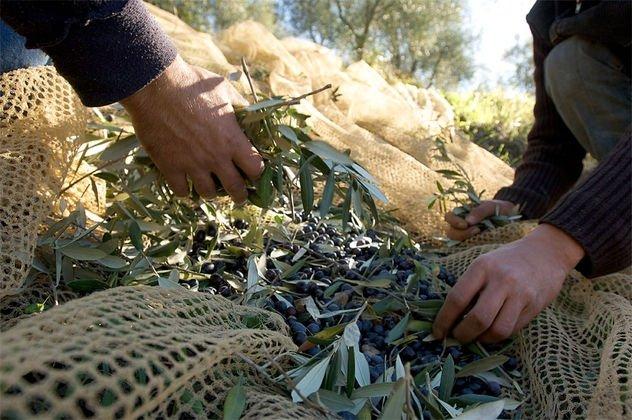 Raccolta olive in economia