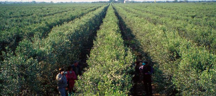 Innovare in olivicoltura si può