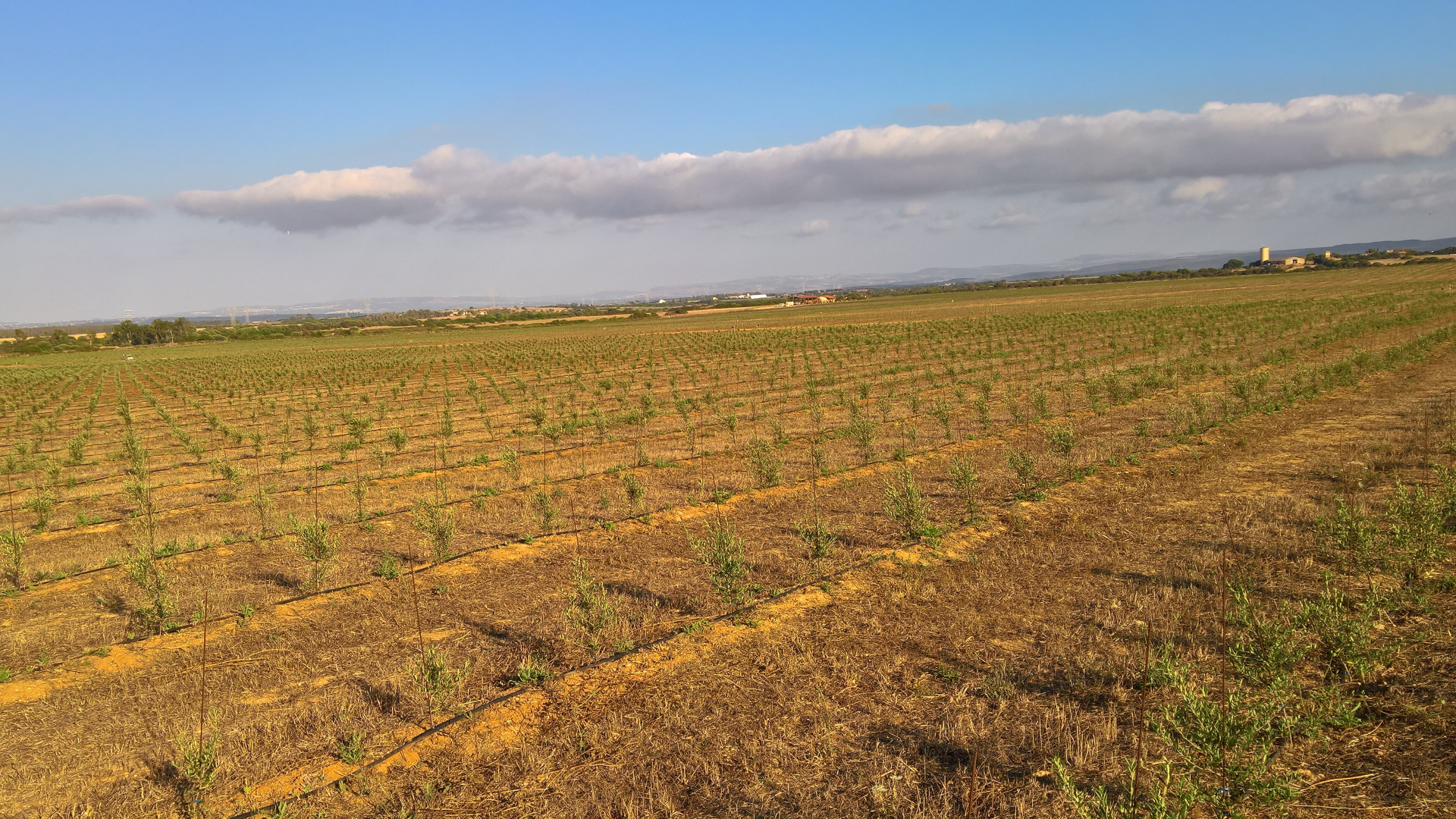 Olivicoltura intensiva in Sardegna