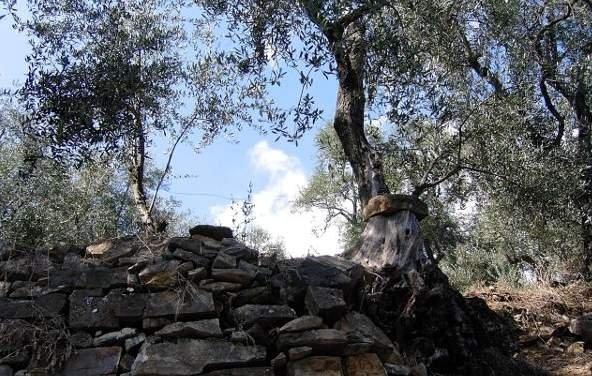 Gli eroi dell'olivicoltura estrema