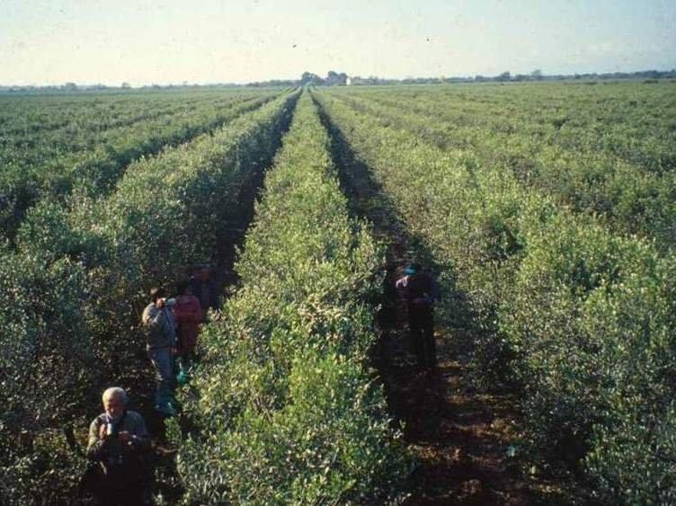 Alta densità in olivicoltura