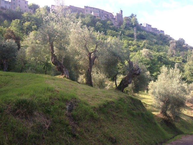 Gli olivi felici dei Mori