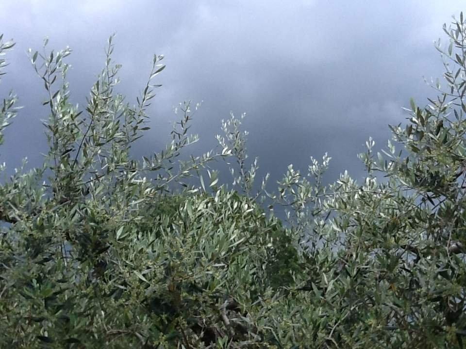 Gli olivi non graditi allo Stato