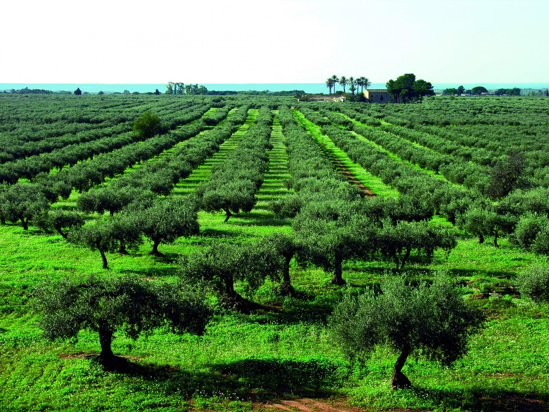 Sicilia olearia vincente con l'Igp