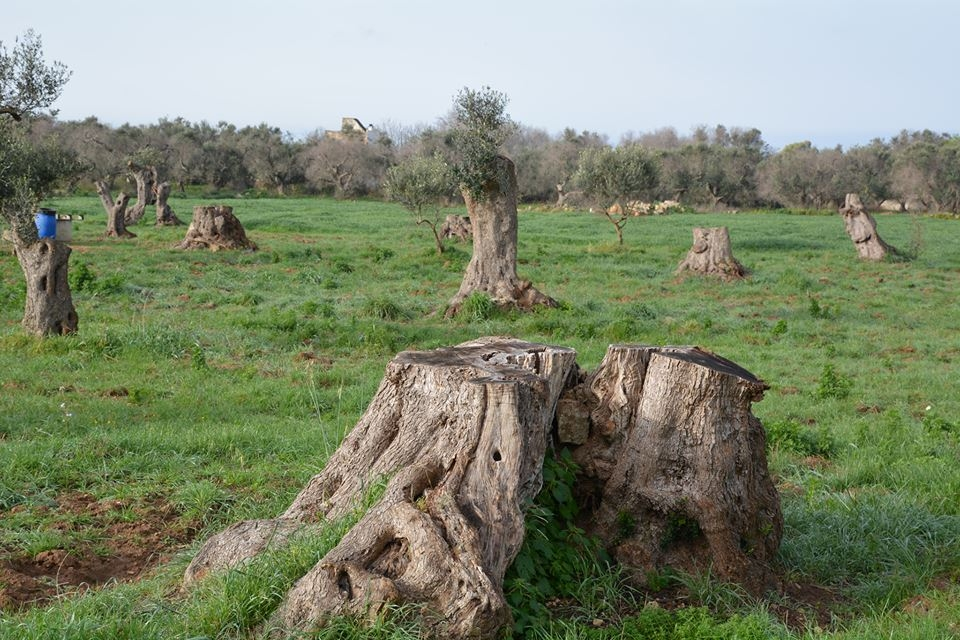 Xylella, è anarchia legislativa