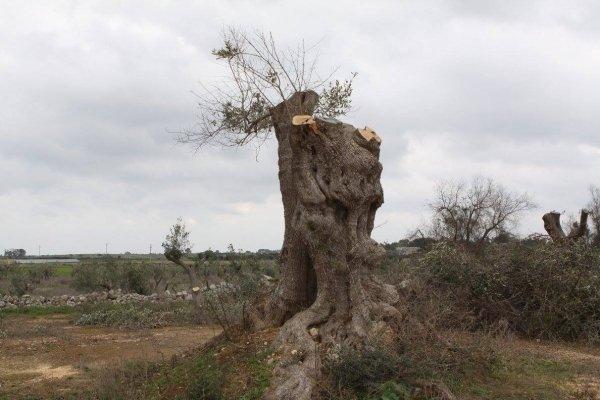 Efsa: provata la patogenicità di Xylella su olivo ed altre specie ospiti