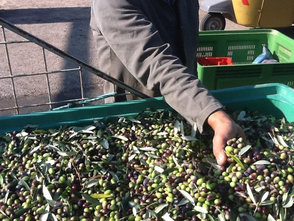 Innovazione nella filiera olivicola