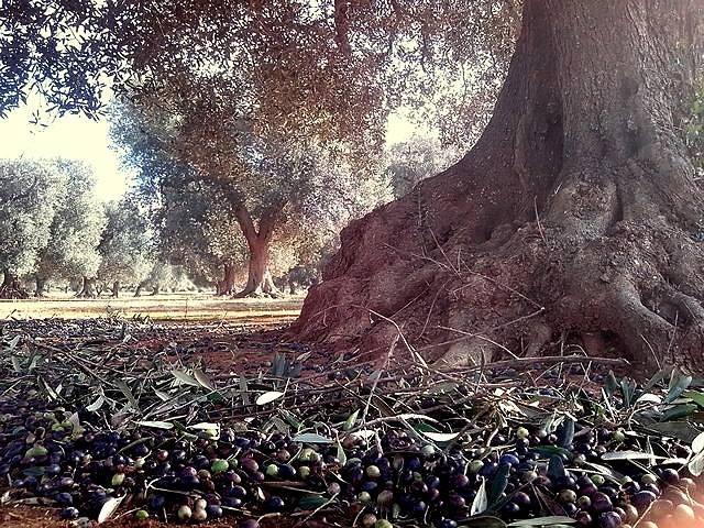 Non lasciamo soli gli ulivi salentini
